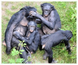 love-monkey-bonobo-8